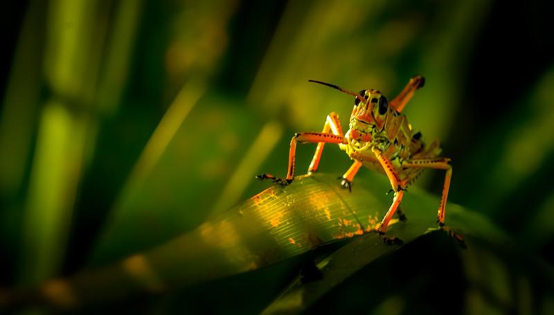 Grasshoppers 95.jpg