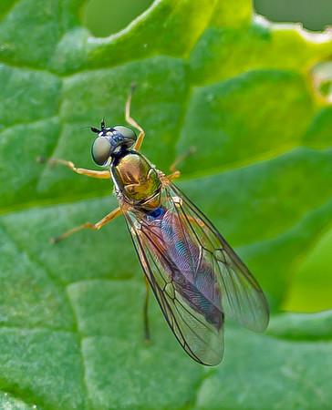 Twin-spot Centurion - Sargus bipunctatus