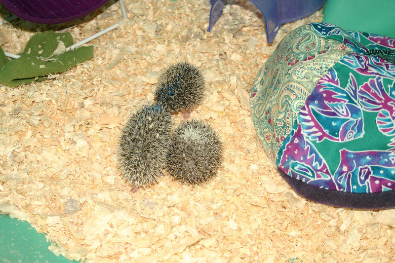 Litter - Capsaicin and Ackley (04/26/2004)    Filename reference: 20040518-200003-HAH-Hedgehog_Babies
