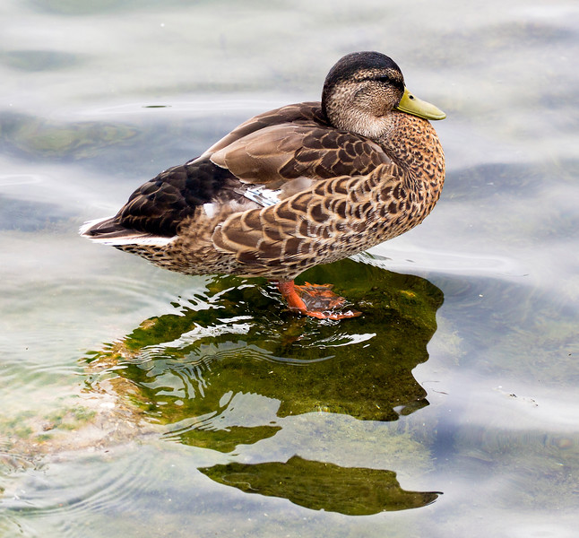 The female of the pair of Teals
