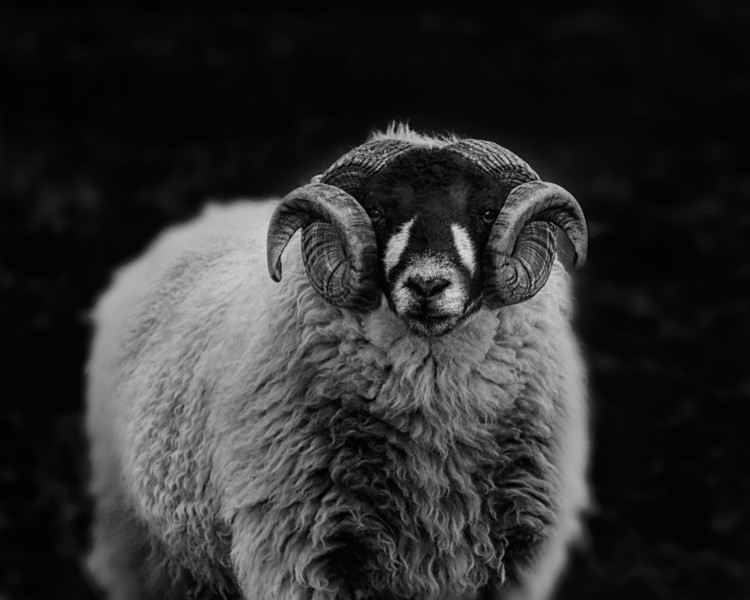 Sheep black and white.jpg