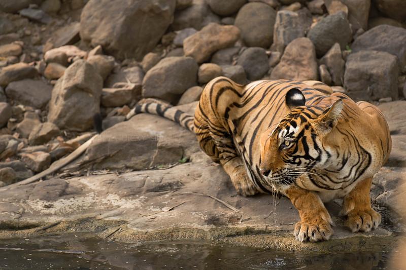 Tiger near a waterhole
