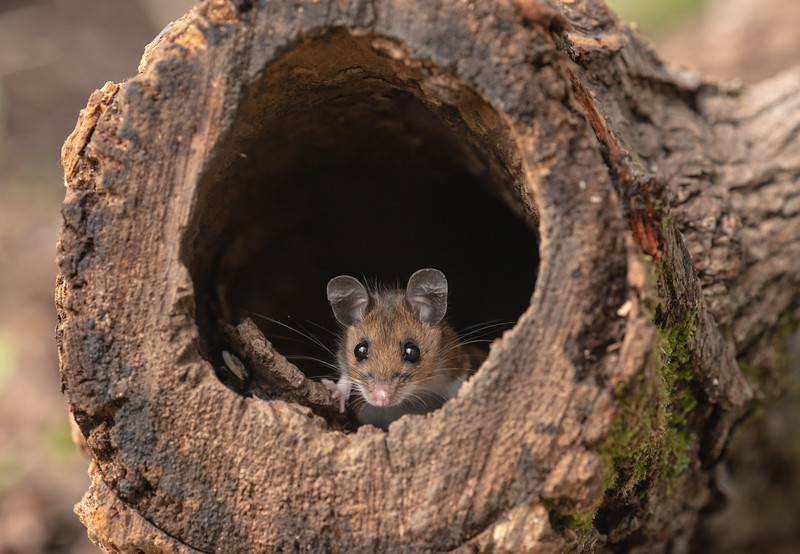 Field Mouse in Log