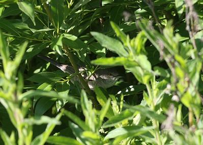 Kirjokerttu (Sylvia nisoria)