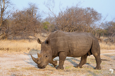 Rhino's before breakfast - Good Times