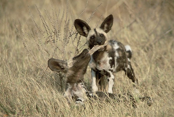 African Wild Dogs aka Painted Dogs
