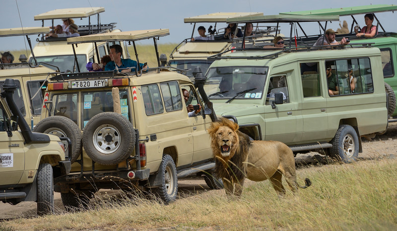 Safari-Tanzania-Serengeti-King-poses-1.jpg