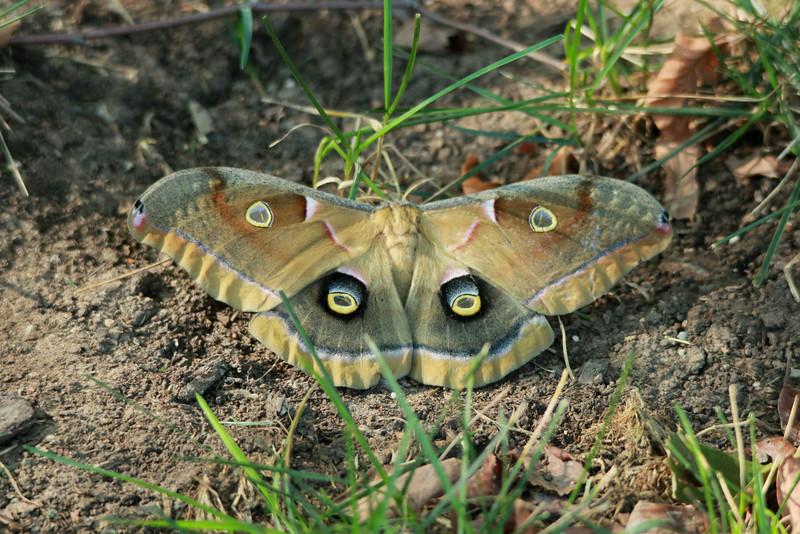 Polyphemus Moth (Antheraea Polyphemus) @ Grand Glen Drive in Manchester