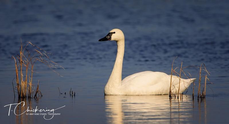 Tundra Swan 26 x48-1506030383181.jpg