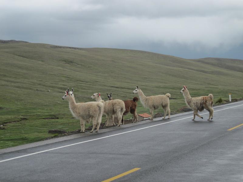 Lama - Peru