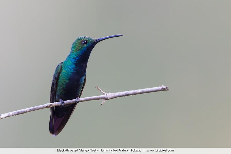 Black-throated Mango Nest - Hummingbird Gallery, Tobago