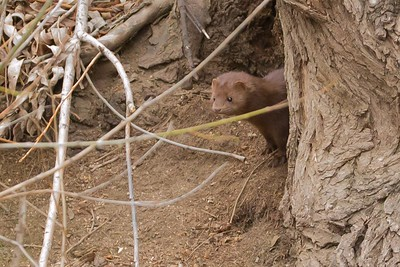 Colorado Mink