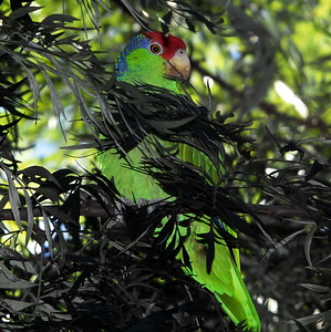 Red-crowned Parrot / Green-cheeked Amazon