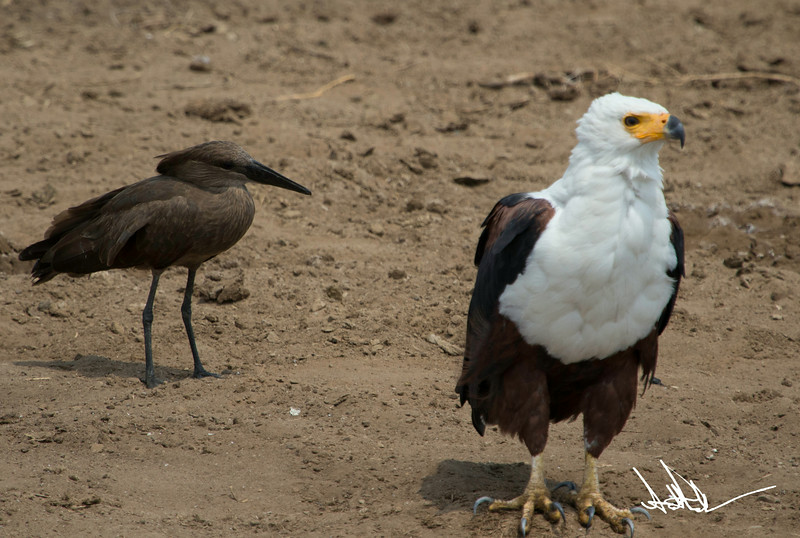 African Fish Eagles-6.jpg