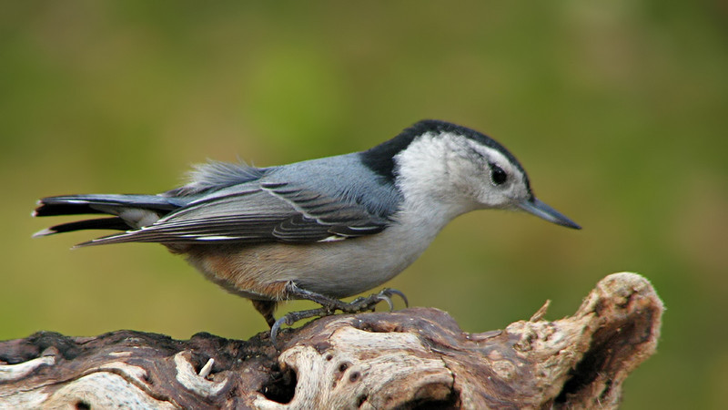 white_breasted_nuthatch_5525.jpg