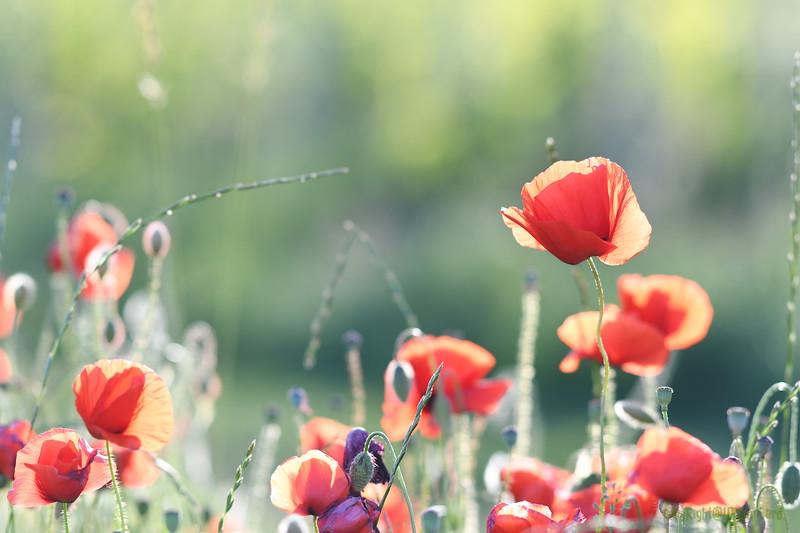 Poppys_Morges_08062019 (24).JPG