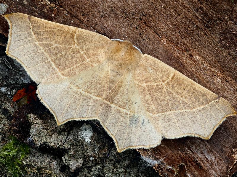 Falcate Tetracis Moth