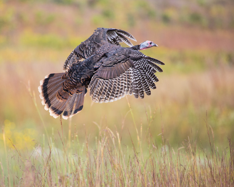 Wild Turkey in Flight
