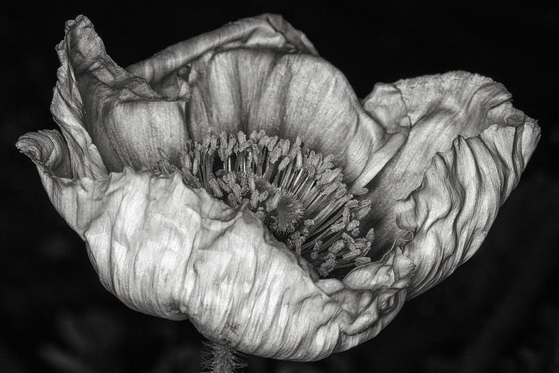 icelandic-poppy-01.jpg