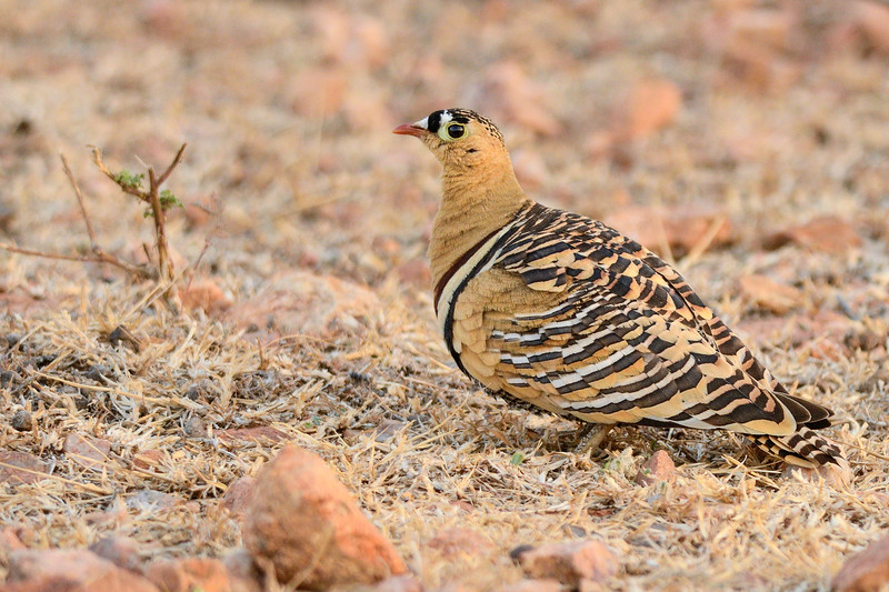 Painted-Sandgrouse-male-hampi.jpg