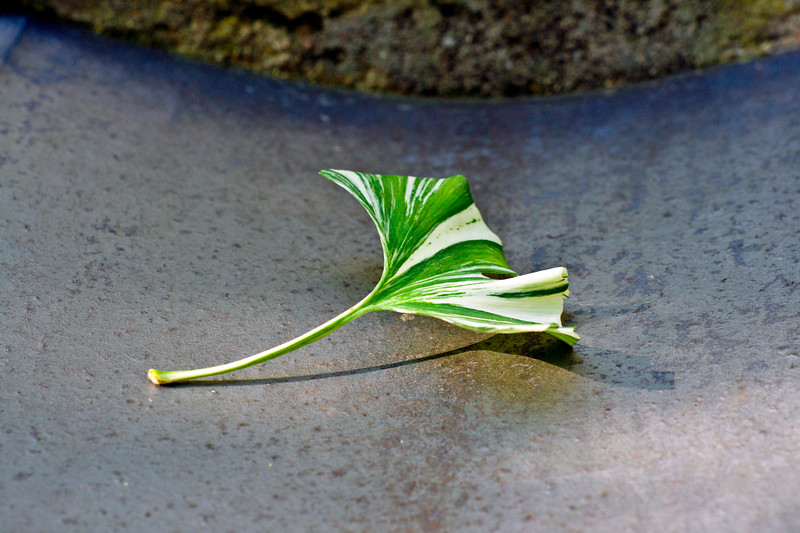 Single striped Gingko Biloba leaf