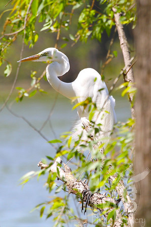 Great Egret, enjoying the view, Creve Coeur Lake, Mo.