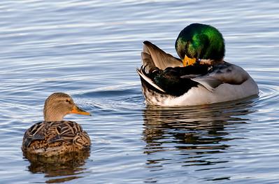 Mostly Ducks