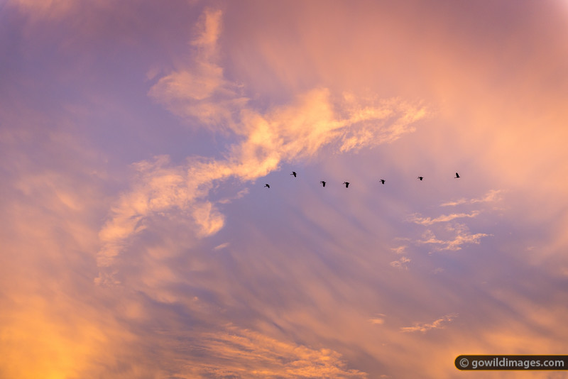 Magpie Geese at sunset