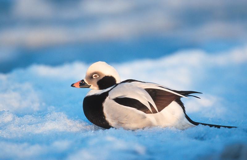 Long tailed duck , Alfågel