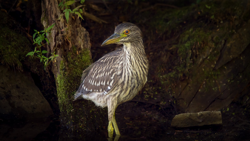 Juvenile Black-crowned night heron / Jeune bihoreau gris