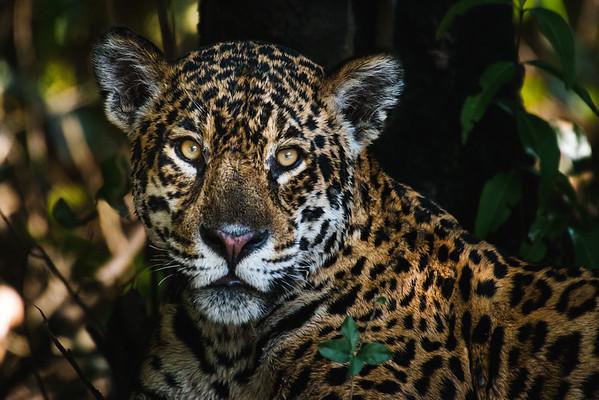 National Geographic Magazine - Jaguars of the Pantanal