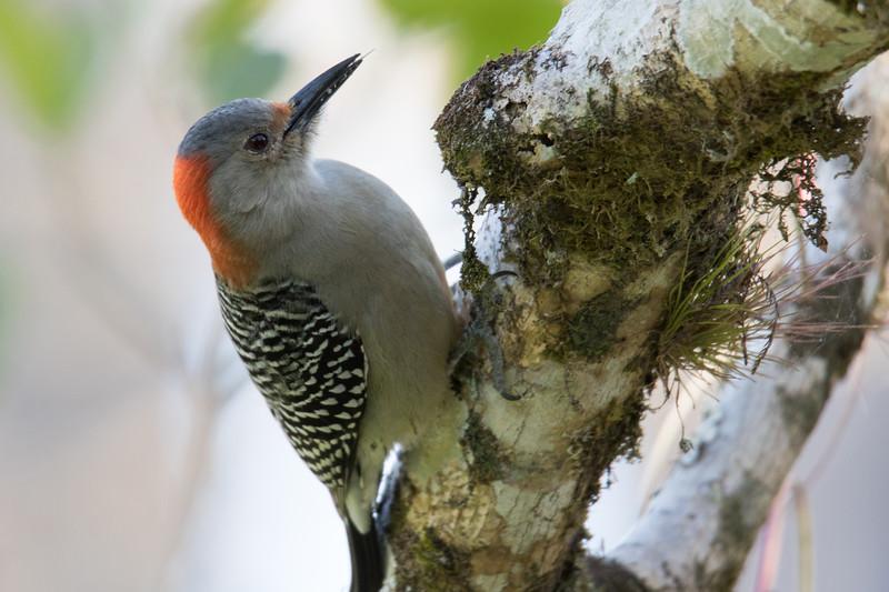 Red-bellied Woodpecker So. FL 2020-1.jpg