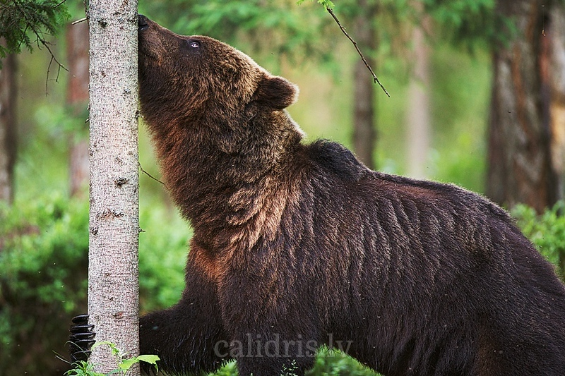 Adult Brown Bear sniffs a tree