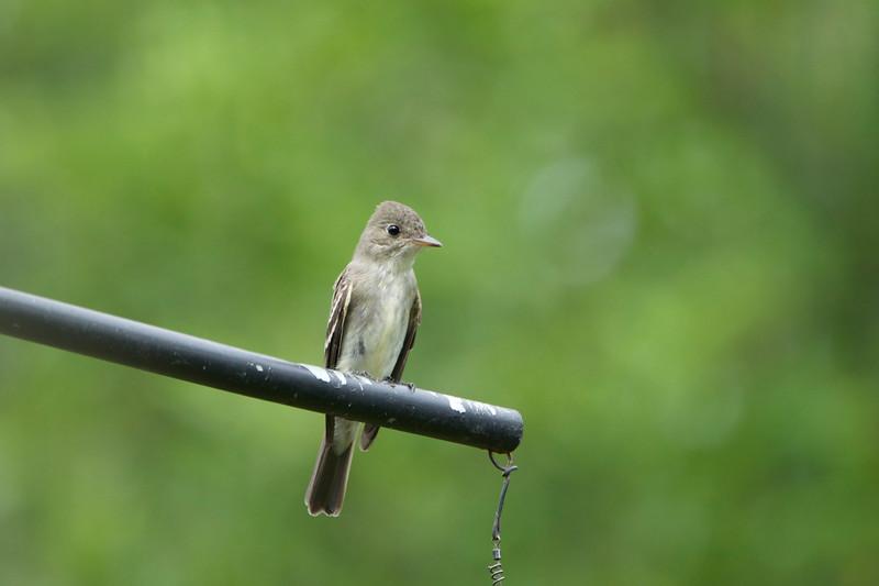 Eastern Wood Pewee-Juvenile 1.jpg