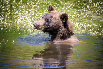 Black Bear in a pond