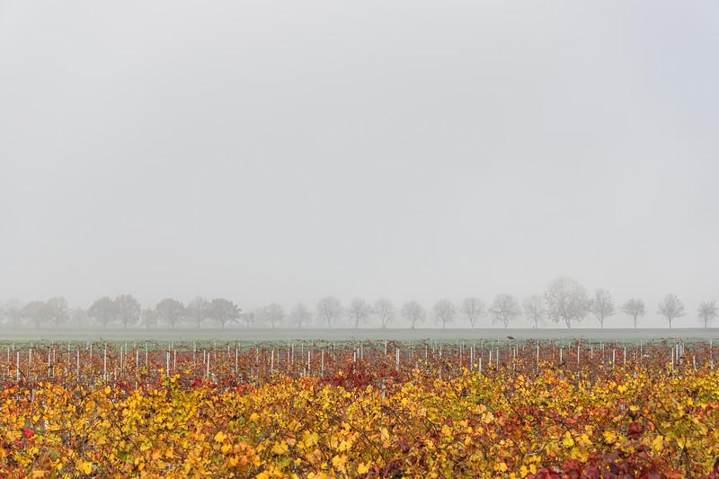 Vineyard and distant trees - Nonantola, Modena, Italy - November 18, 2020