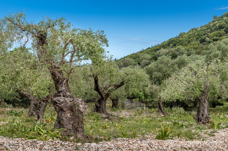 Olive Grove outside Frikes