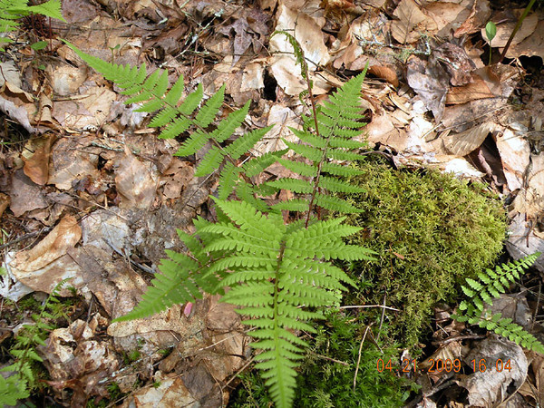 Intermediate Wood Fern  along Beard Cane Trail Tricky to identify, but common in the mountains. Dryopteris intermedia Dryopteridaceae GSMNP TN 4/09