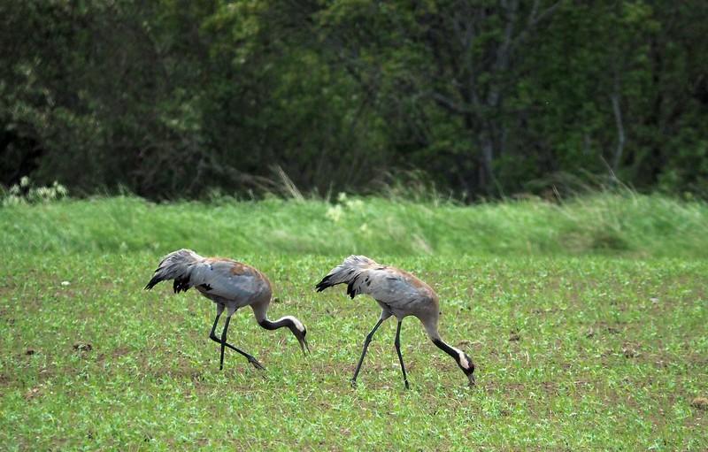 Kraanvogel Handog 27-06-17 (24).jpg