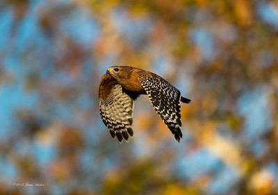 Red-shouldered Hawk (Buteo lineatus elegans)