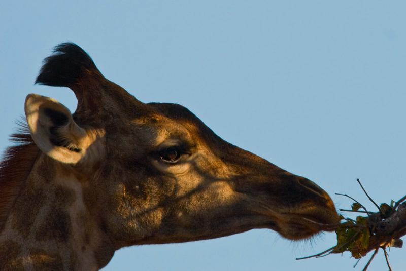 giraffe6_edited-1.jpg