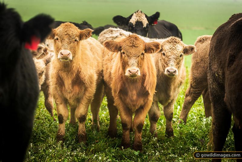 Curious calves