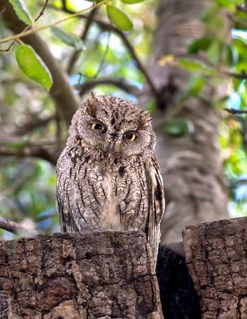 Owls, Screech Owls