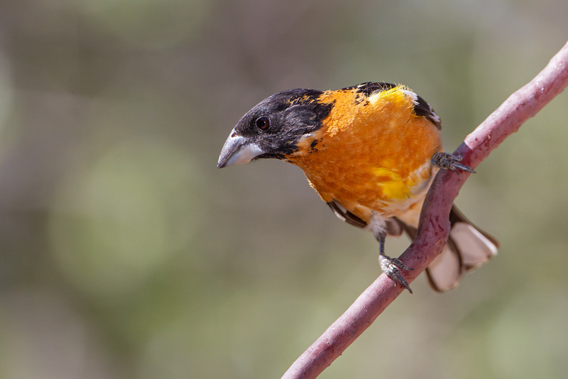 Black-headed Grosbeak - Hereford, AZ, USA