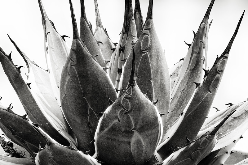 agave applanta 'cream spike'