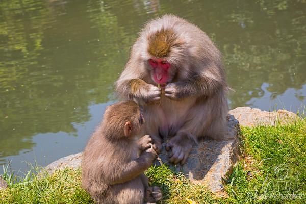 Iwatayama Monkey Park-Japanese macaque