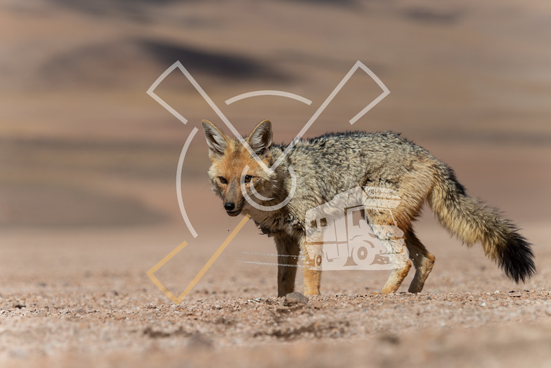 Close encounter with the culpeo (Lycalopex culpaeus) or Andean fox, at the Siloli desert in Eduardo Avaroa Andean Fauna National Reserve