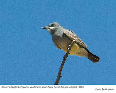 Cassin'sKingbirdA16093.jpg