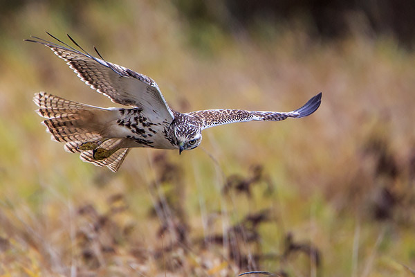 Young Redtail flight