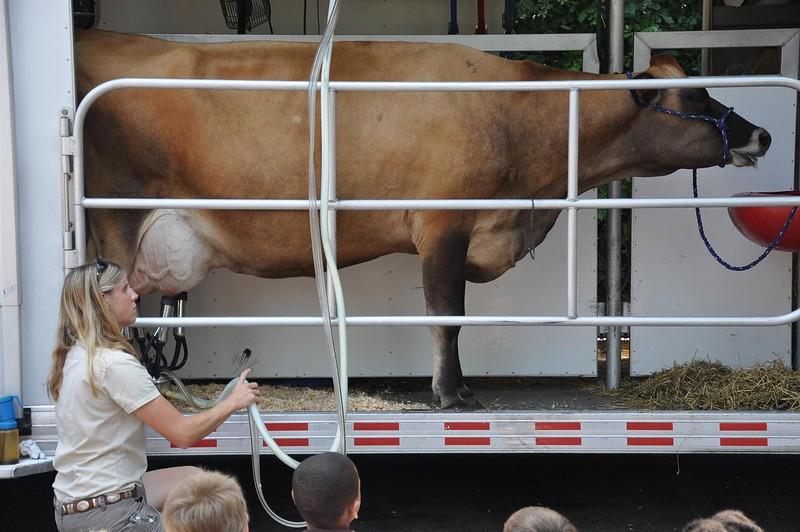 cow chews cud and gets milked.jpg